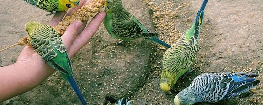 Какой корм для попугаев выбрать?