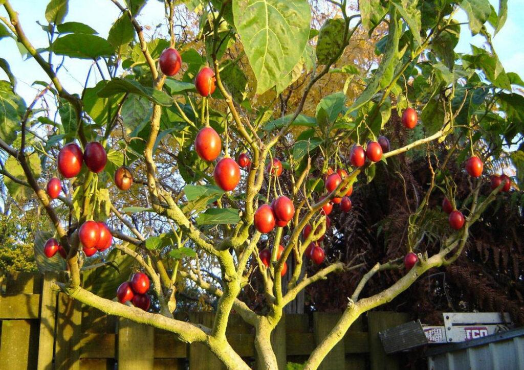 Помидорное дерево – что это, как вырастить?